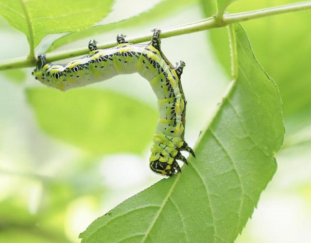 ヤチダモの葉を食べるイボタガ終齢幼虫