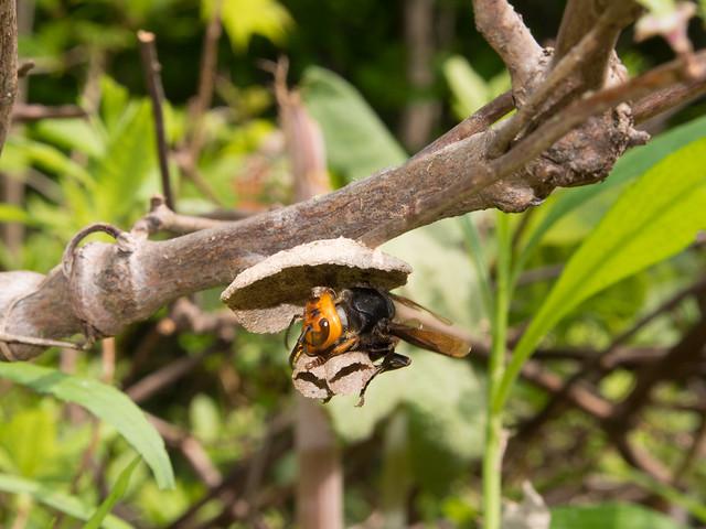 コガタスズメバチの巣作り