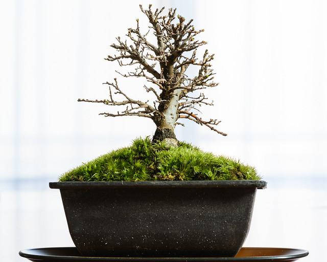 楡欅の盆栽