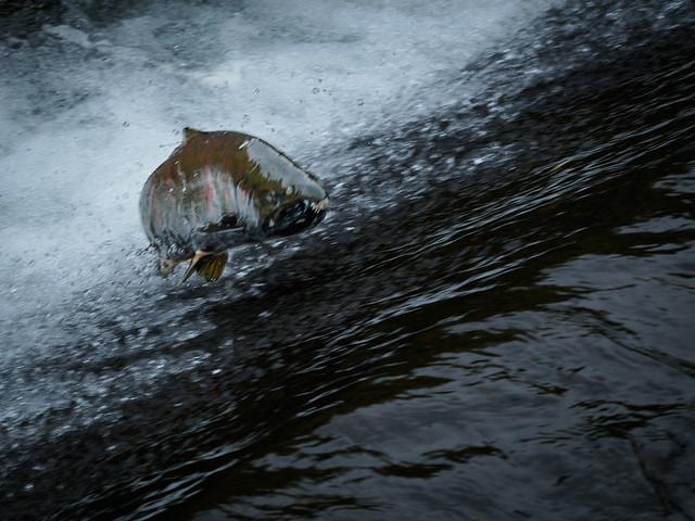 琴似発寒川を遡上するサクラマス