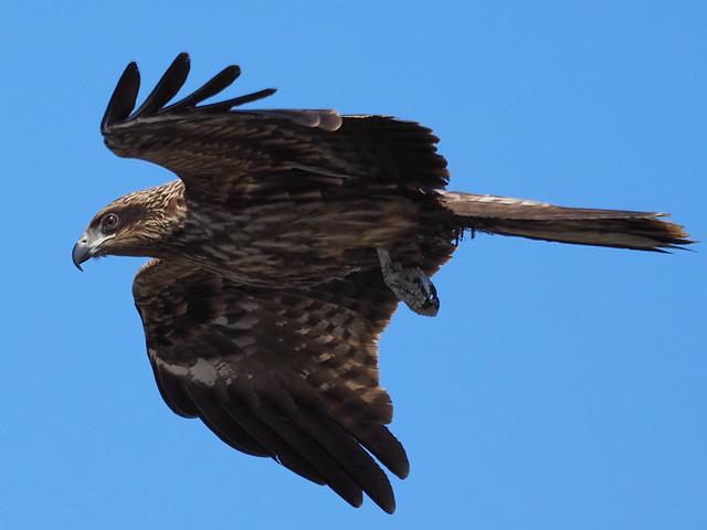 空を飛ぶトビ