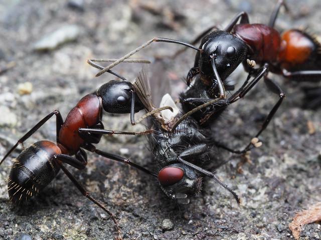 ハエを食べるムネアカオオアリ