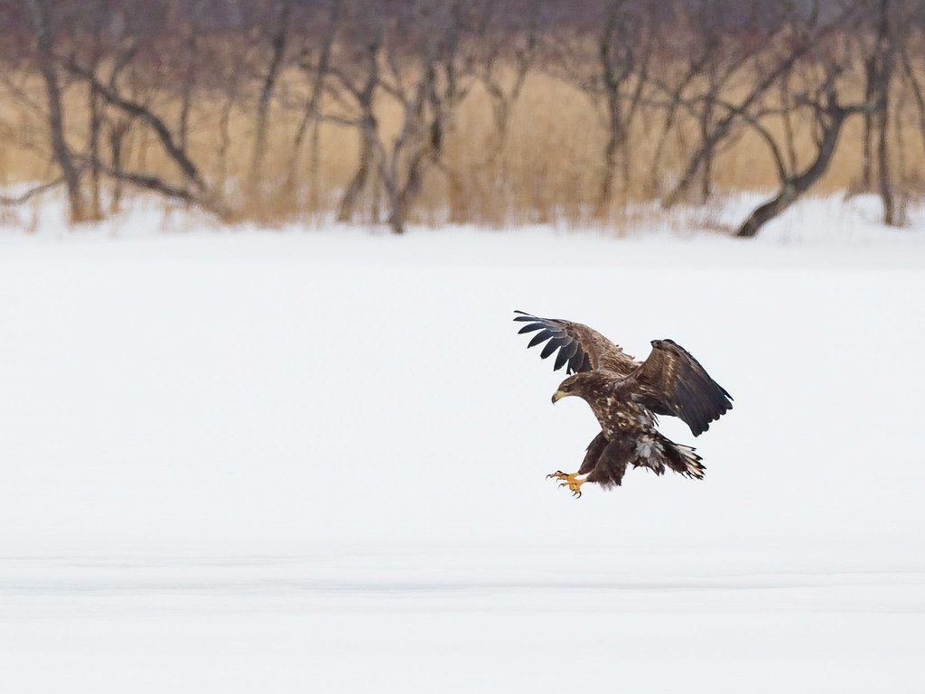 ウトナイ湖のオジロワシ
