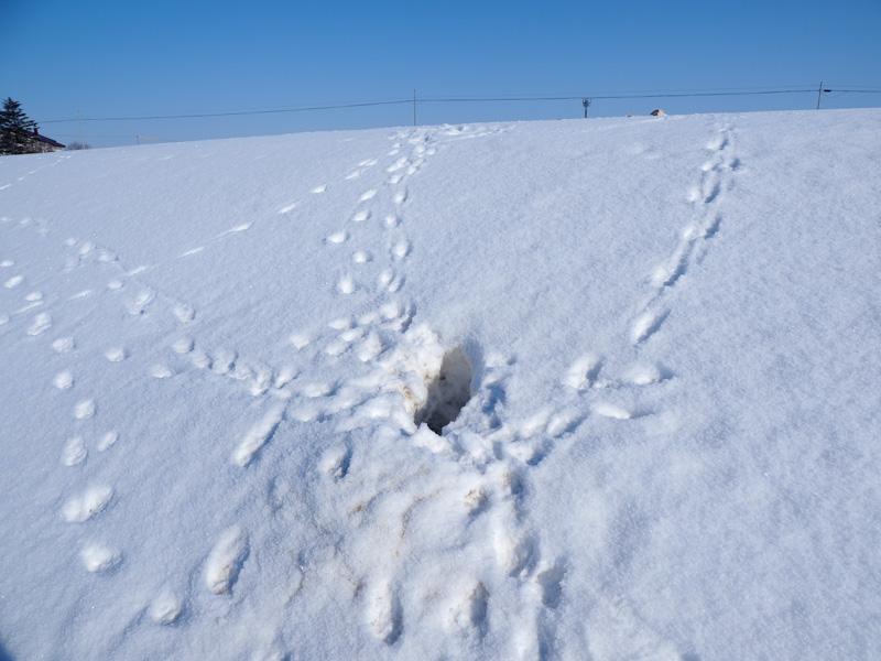 キツネがネズミを捕った雪穴?